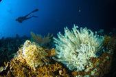 Scuba diving crinoid bunaken sulawesi indonesia lamprometra sp. underwater photo — Stok fotoğraf