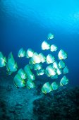 Golden spadefish bunaken sulawesi indonesia platax boersii underwater photo — Stock Photo