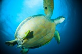 Sea turtle swimming bunaken sulawesi indonesia mydas chelonia underwater photo — Stock Photo