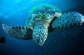 Żółw morski na rafy bunaken sulawesi Indonezja chelonia mydas zdjęcie podwodne — Zdjęcie stockowe
