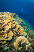 Scuba diving above coral below boat bunaken sulawesi indonesia underwater photo — Stockfoto