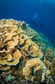 Scuba diving above coral below boat bunaken sulawesi indonesia underwater photo — Fotografia Stock