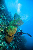 Diver take a photo video upon seafan kapoposang indonesia scuba diving — Stock Photo