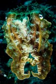 Broadclub cuttlefish sefia latimanus kapoposang indonesia scuba diving diver — Stock Photo
