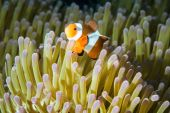 Anemonefish kapoposang Indonesia hiding inside anemone diver — Stock Photo