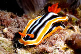 Chromodoris nudibranch kapoposang scuba diver diving — Stock Photo