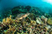 Sea turtle kapoposang indonesia mydas chelonia underwater scuba diving diver — Stock Photo