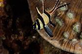 Scuba diving lembeh indonesia banggai cardinalfish underwater — Stock Photo