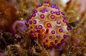 Scuba diving lembeh indonesia janolus nudibranch — Stock Photo