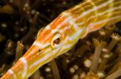 Scuba diving lembeh indonesia blocthed goby — Stock Photo