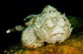 Scuba diving lembeh indonesia devil scorpionfish — Stock Photo