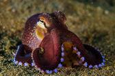 Scuba diving octopus lembeh strait indonesia underwater — Stock Photo