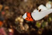 Scuba diving lembeh indonesia bicolor parrotfish — Stock Photo