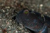 Scuba diving lembeh indonesia underwater barred shrimpgoby — Stockfoto