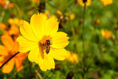 Bee insect on Beautiful flower in field. Macro — Stock Photo