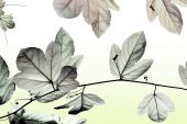 Soft colour backround from pasifflora leaf — Stock Photo