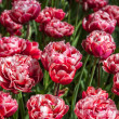 Red flowers on green background close-up — Stock Photo #54835799