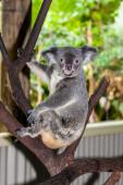 Koala sitting on a branch — Stok fotoğraf