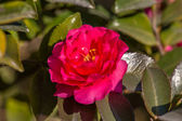 Camellia flower - Chinases Camellia flower — Stock Photo