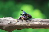 Rhinoceros beetles on  log — Stock Photo