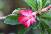 Blossom Impala Lily — Stock Photo