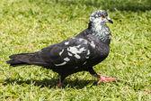Pigeon in garden — Stock Photo