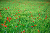 Green Wheat Field and Red Poppies — Stock Photo
