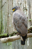 Crested serpent eagle or spilornis cheela — Stock Photo