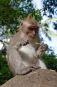 Crab-eating macaque or long-tailed macaque or macaca fascicularis — Stock Photo