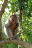Crab-eating macaque eating coconut — Stock Photo