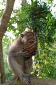 Crab-eating macaque eating coconut — Stok fotoğraf