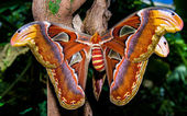 Atlas butterfly — ストック写真