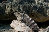 Iguana on the rock — Stock Photo