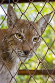 The lynx behind a grid — Stock Photo