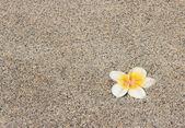 Plumeria flower on a background — Stock Photo