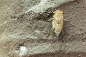 Cicada — Stock Photo