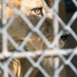 Eye of the tiger in cage fierce — Stock Photo #56673961