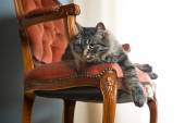 在红色丝绒的椅子上的猫 — 图库照片