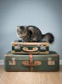 Beautiful cat with vintage suitcases — Foto de Stock