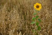 Lone sunflower in the field — Stock Photo
