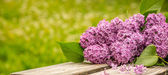 Lilac flower  — Stock Photo