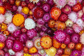 Straw flower, Everlasting — Stock Photo