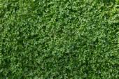 Selaginella, Spike Moss, Lesser Clubmoss — Stok fotoğraf