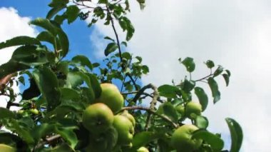 Apples On Tree, Time-Lapse — Stock Video