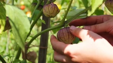 Woman Hands Gather Physalis — Stock Video