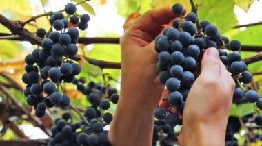Hands Woman Pluck Grapes — Stock Video