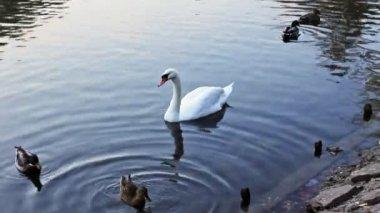 Swan Between Wild Ducks Follows — Stock Video