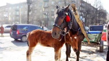 Foal Nuzzle Near Mother — Stock Video