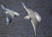 Black Headed Gulls (Winter Plumage) - In flight — Stock Photo