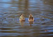 Green Winged Teals Going For A Dive — Stock Photo